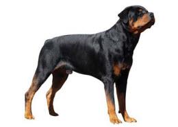 seguro para rottweiler